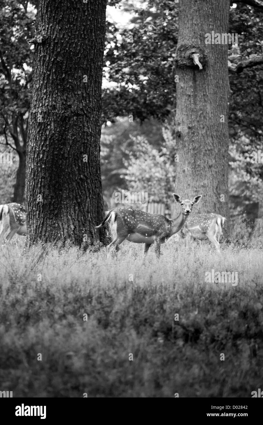 A fallow does within the grounds of Dunham Massey, U.K. - Stock Image