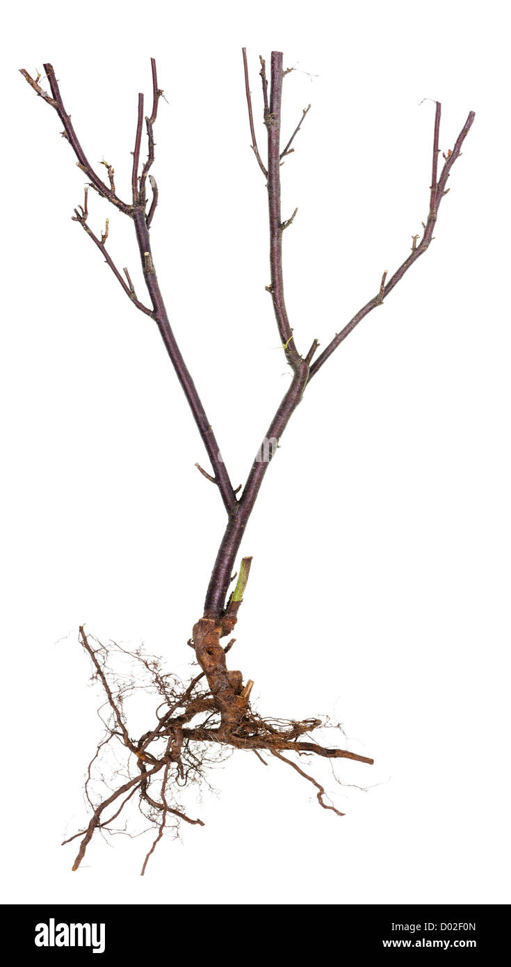 Halloween tree concept image- ugly dry branches and roots . Isolated on white. Stock Photo