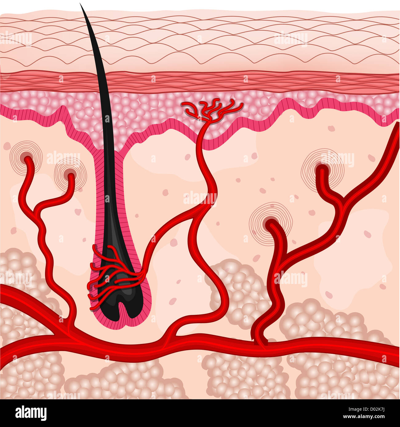 illustration of human skin cells - Stock Image