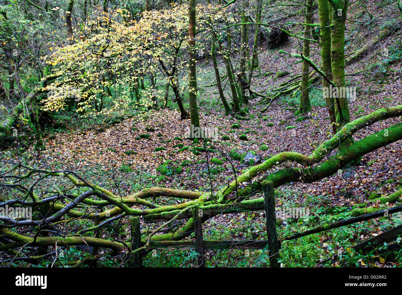 Mossy Fence in Brundholme Woods in Autumn Keswick Cumbria England - Stock Image