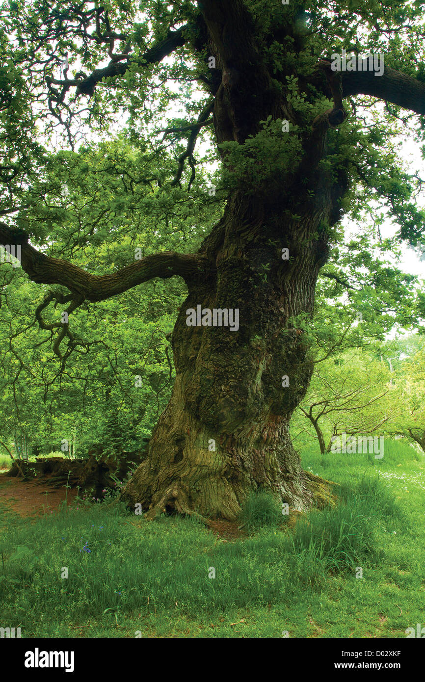 Cadzow Oaks, Chatelherault, South Lanarkshire - Stock Image