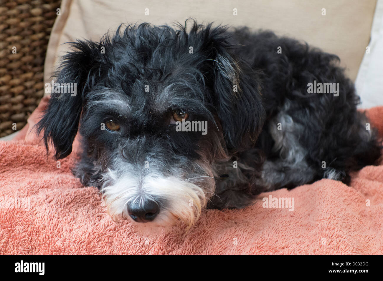 A mongrel mutt of a dog - Stock Image