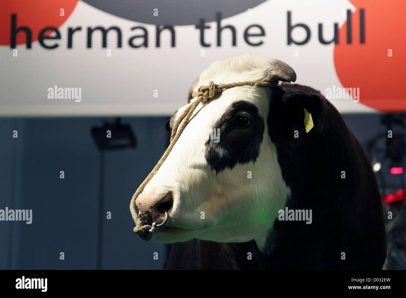 Herman the Bull (1990 – 2004) the first genetically modified or transgenic bovine in the world. - Stock Image