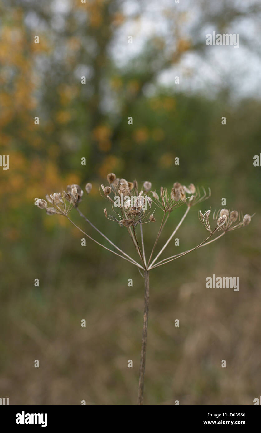 Detail of a Dead Cow Parsley - Stock Image