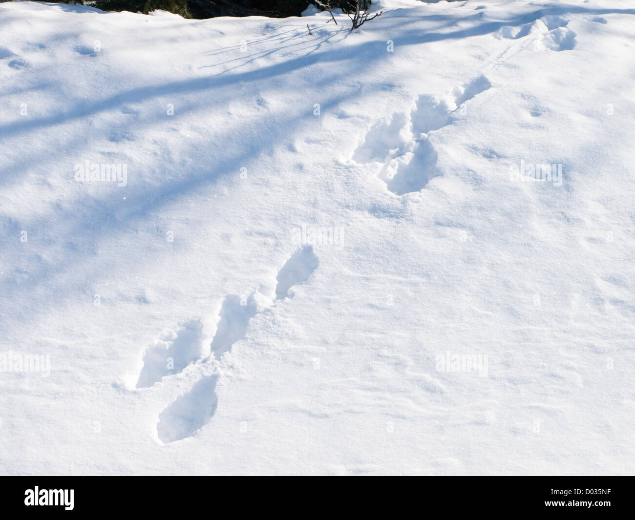 Tracks from hare in sunny winter snow - Stock Image