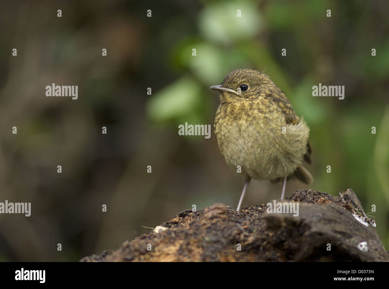Juvenile Robin on a tree stump - Stock Image