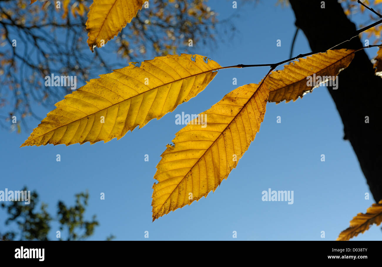 autumn leaves against a blue sky background england uk - Stock Image