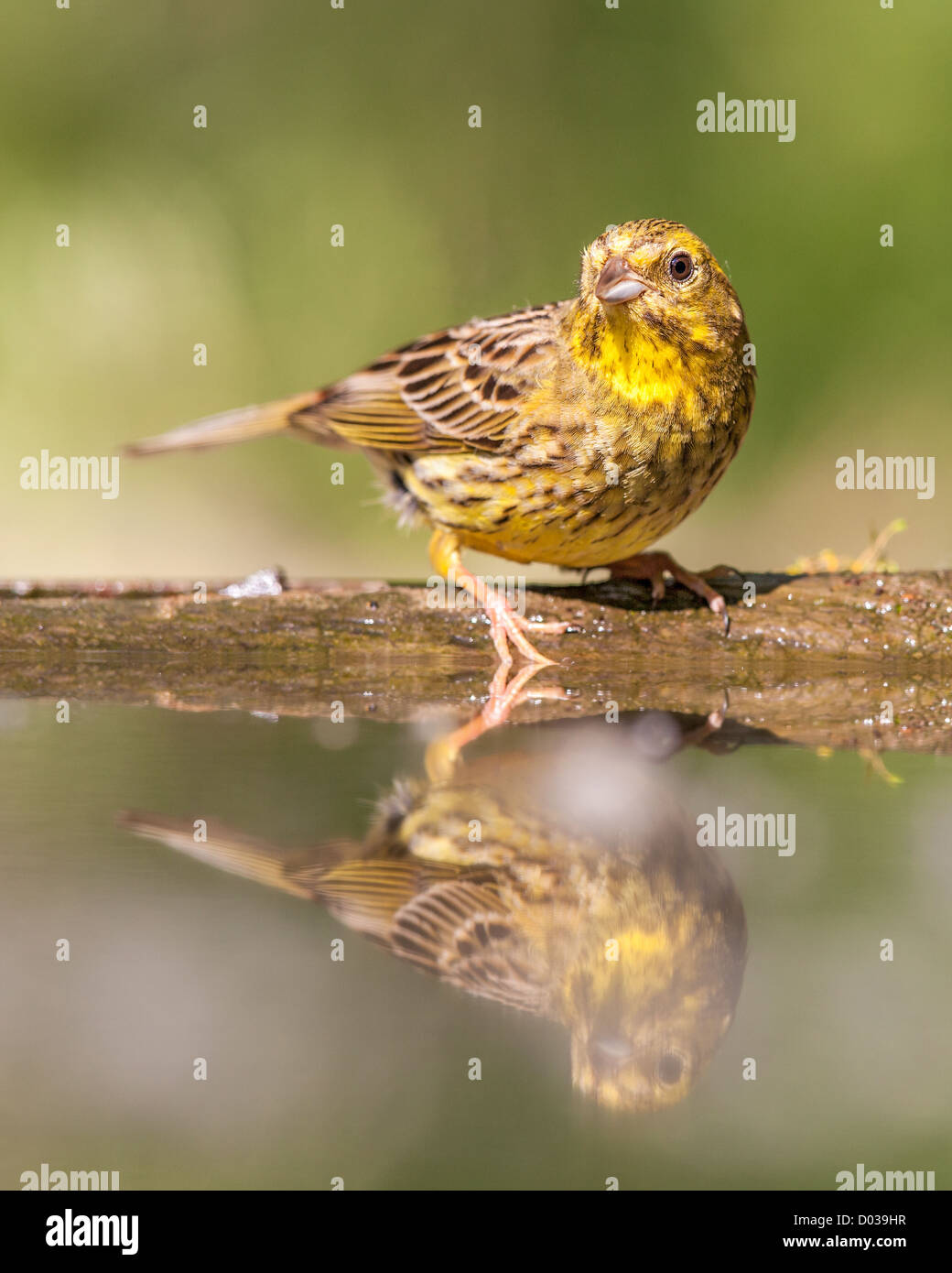 Yellowhammer (Emberiza citrinella) on the edge of a forest pool - Stock Image