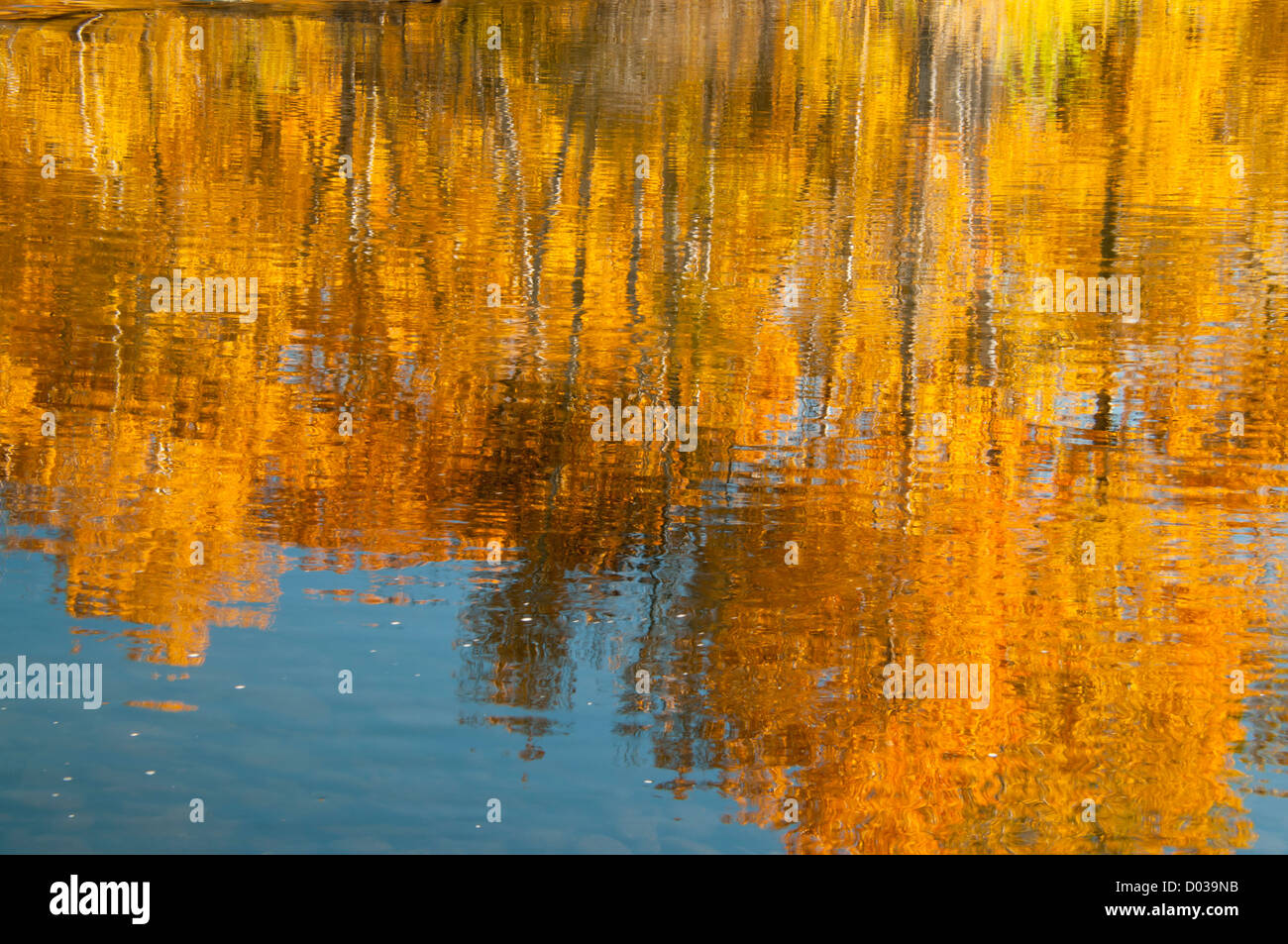 Scenic autumn water reflections of golden cottonwood trees in the boise river along the boise river greenbelt. Boise - Stock Image