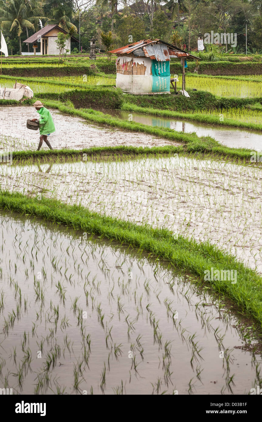Farmer planting rice in the rice fields surrounding Ubud, central Bali, Indonesia - Stock Image