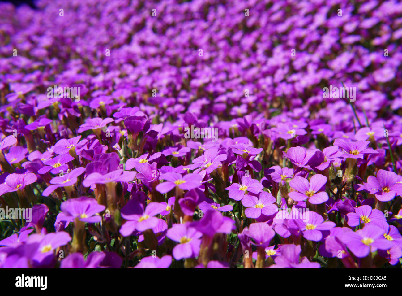 Close-up of some violett flowers sea of flowers - Stock Image