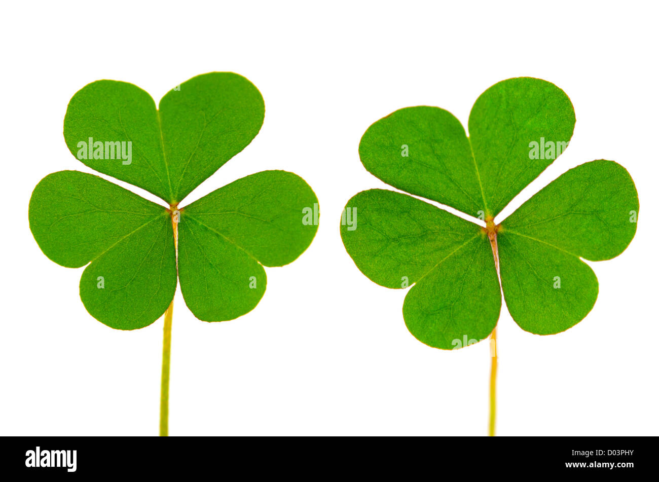 Three Leaf Clover on white background - Stock Image