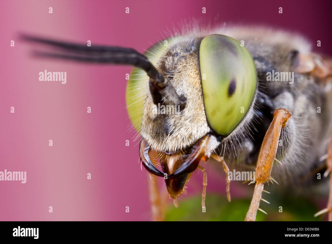 Portrait of a Larrinae wasp, family Crabronidae. Petaling Jaya, Malaysia - Stock Image