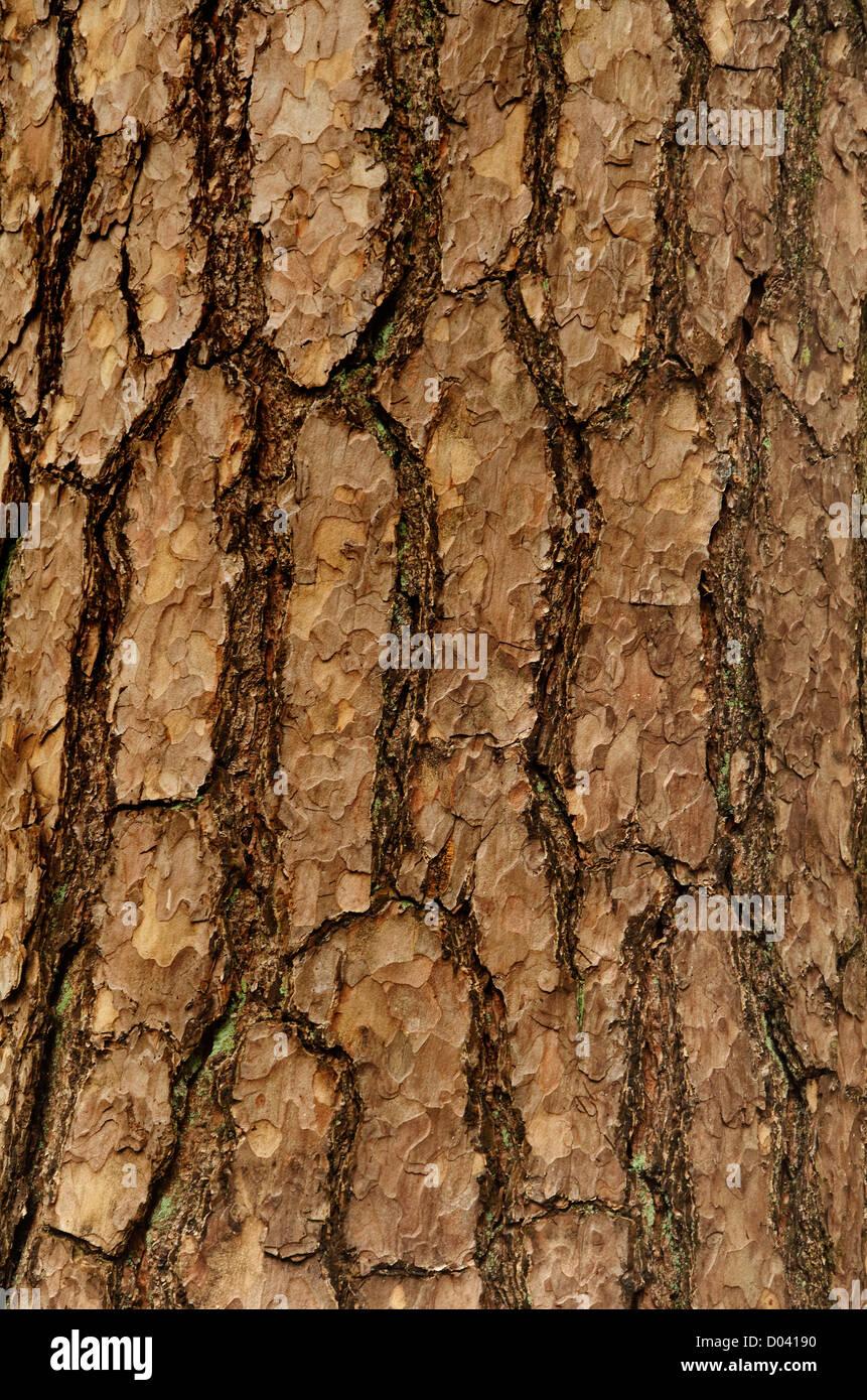 Bark of Spruce Pine tree - Stock Image