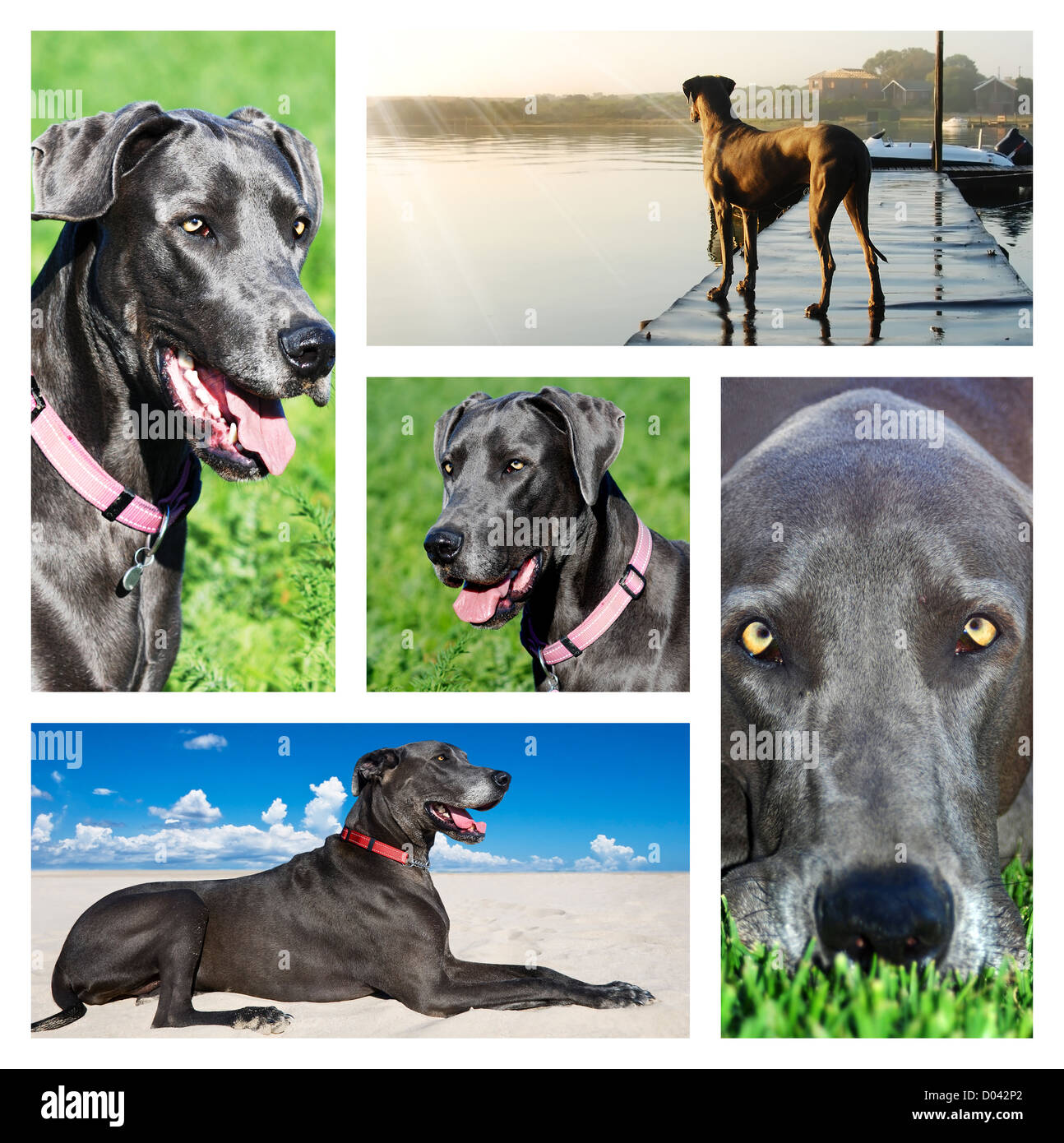 Collage of photos of a great dane dog - Stock Image