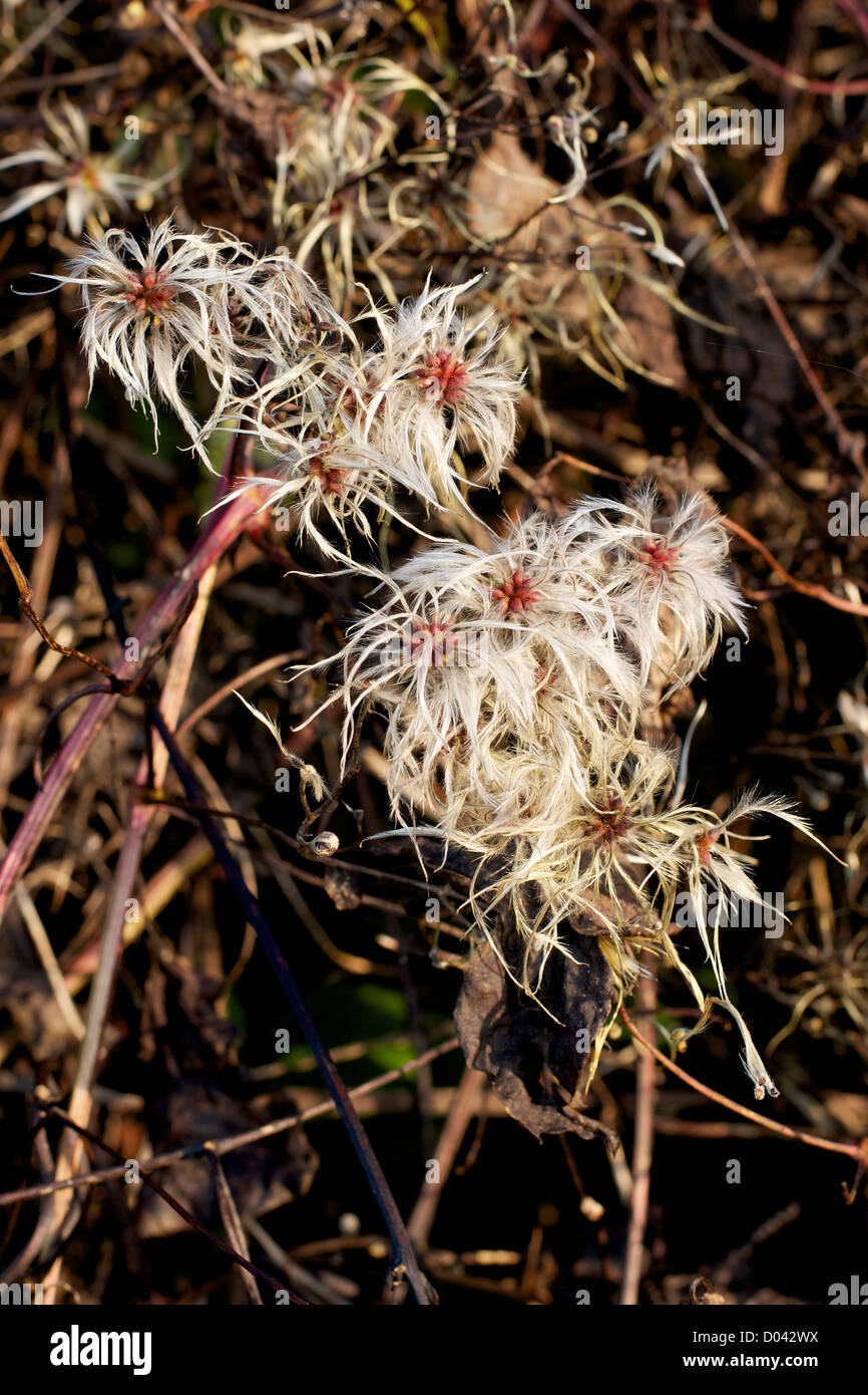 Old Man's Beard Clematis Vitalba growing in a Surrey downland hedgerow in November - Stock Image