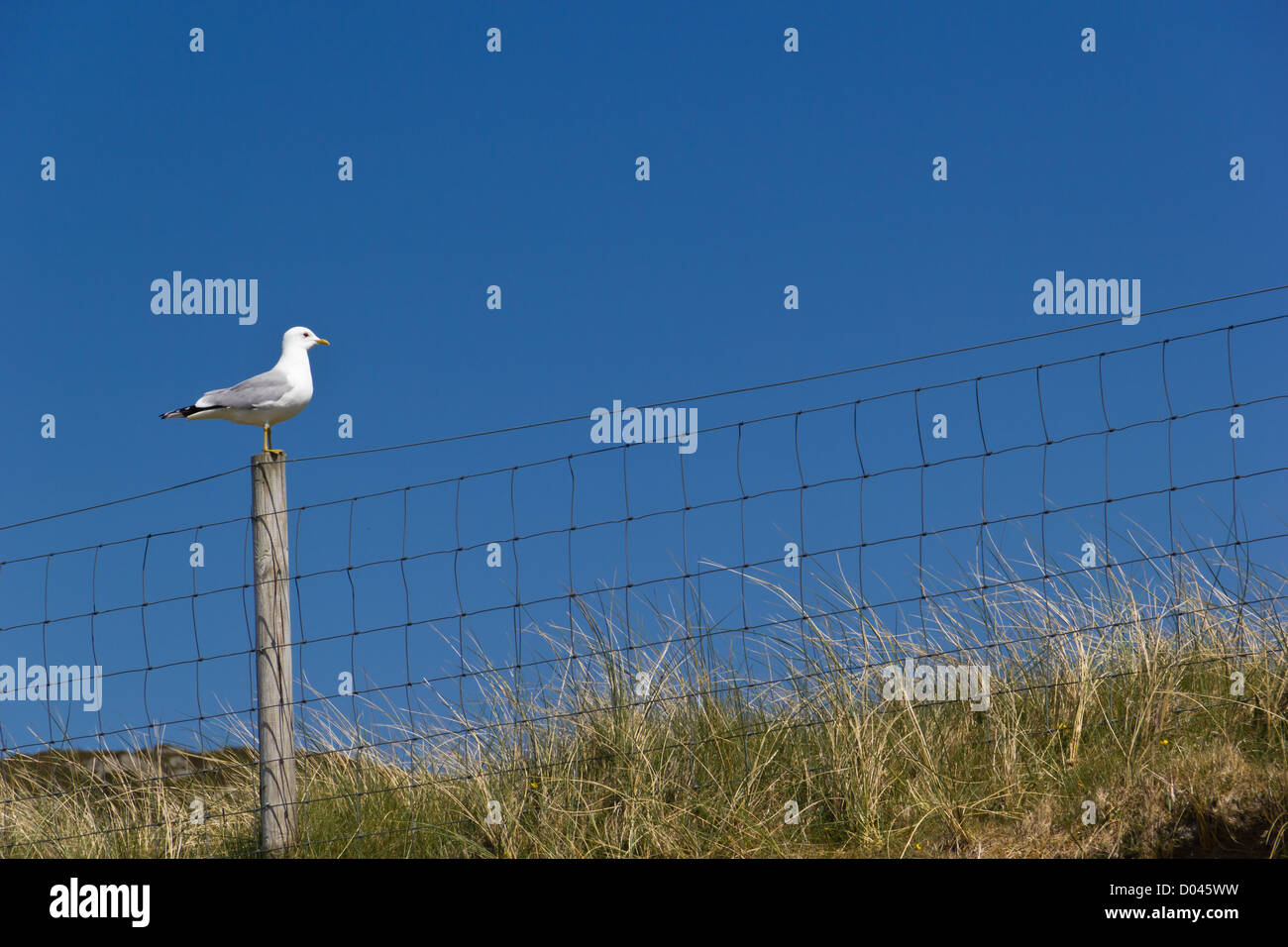 A seagull in Luskentyre beach (Outer Hebrides) - Stock Image