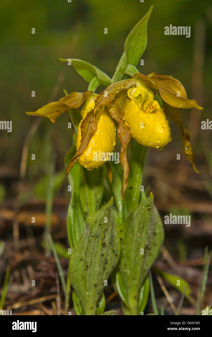 Yellow Lady Slipper Stock Photos Yellow Lady Slipper Stock Images