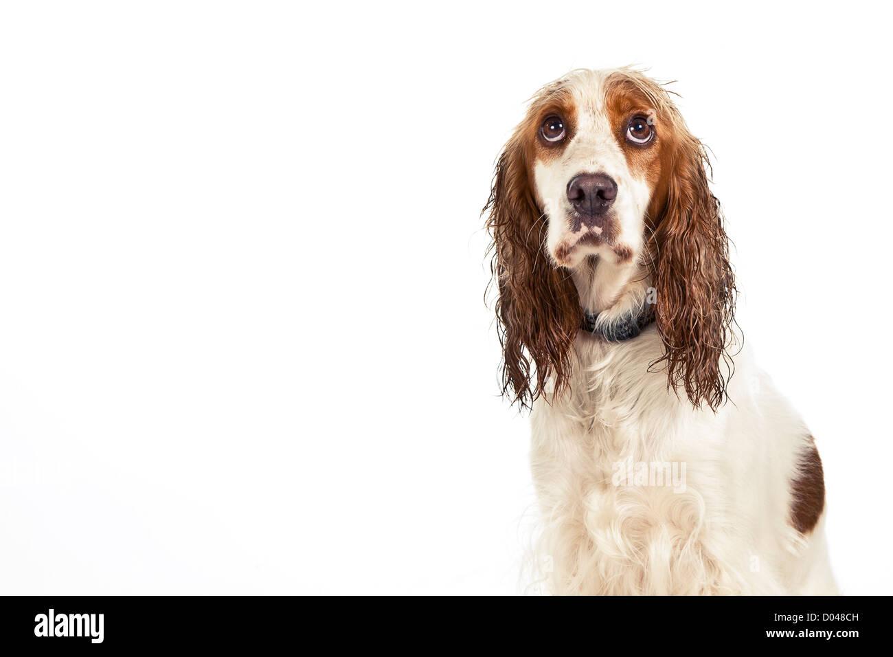 a sad dog on a white background - Stock Image