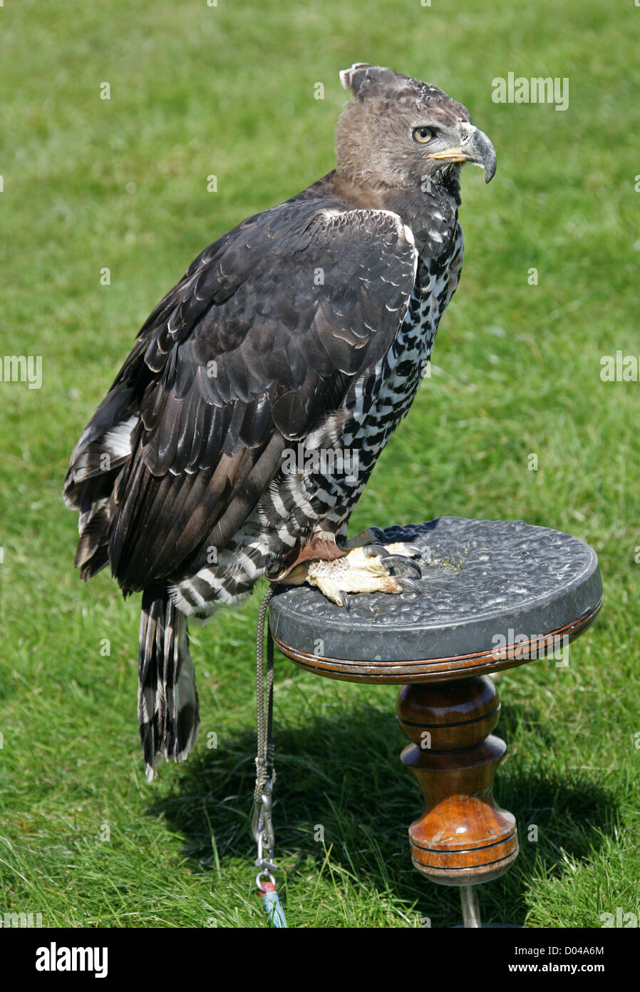 African Crowned Eagle by xoxcatalinaxox on DeviantArt  |African Crowned Eagle Falconry