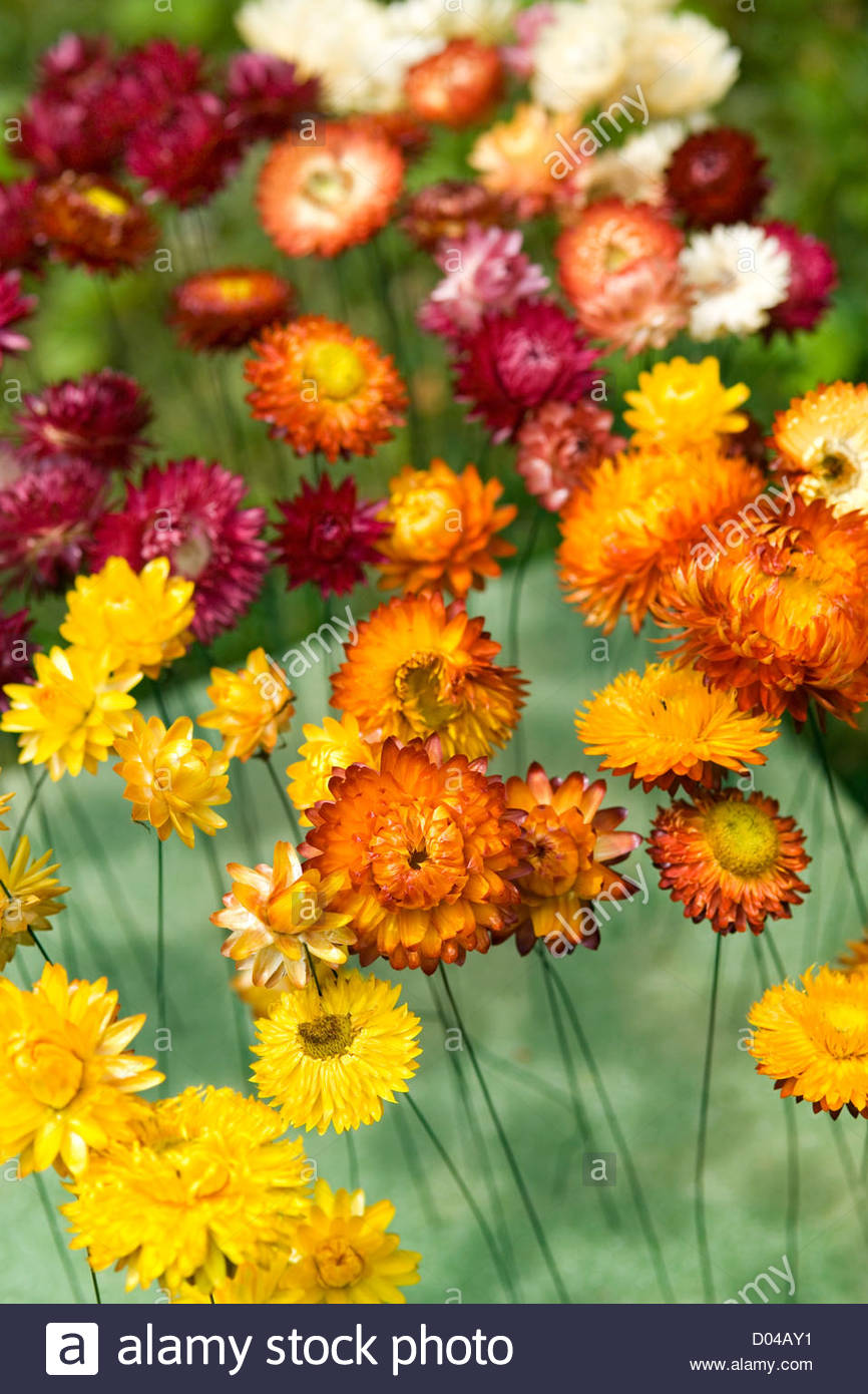 Everlasting flower stock photos everlasting flower stock images everlasting flower helichrysum cv wired and drying in an oasis foam block stock izmirmasajfo
