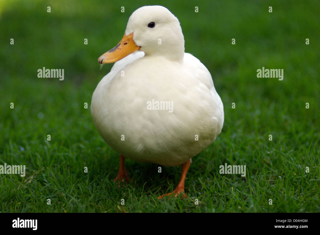 cute white duck on green grass - Stock Image