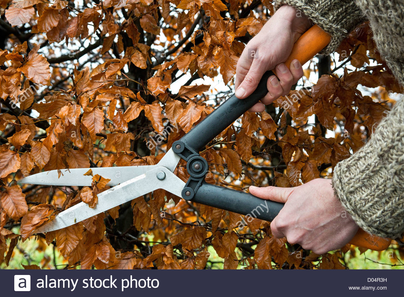 Clipping a beech (Fagus sylvatica) hedge with shears in autumn - Stock Image