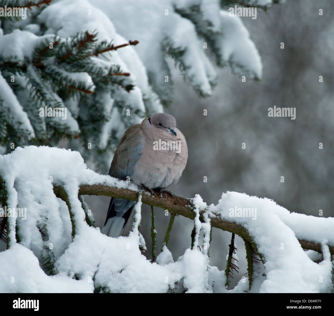 Collared Dove resting on Norway Spruce tree branch in snow - Stock Image