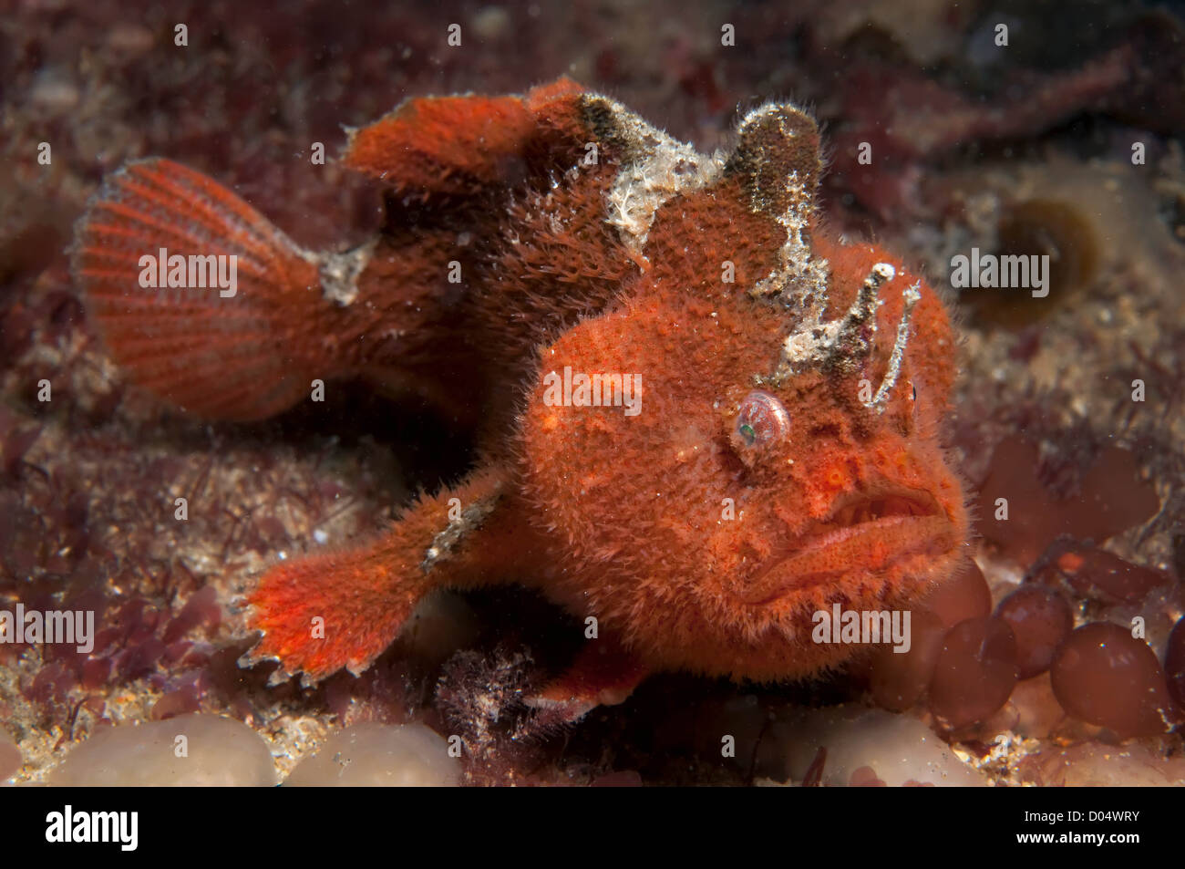 Prickly Anglerfish Stock Photo: 51739183 - Alamy