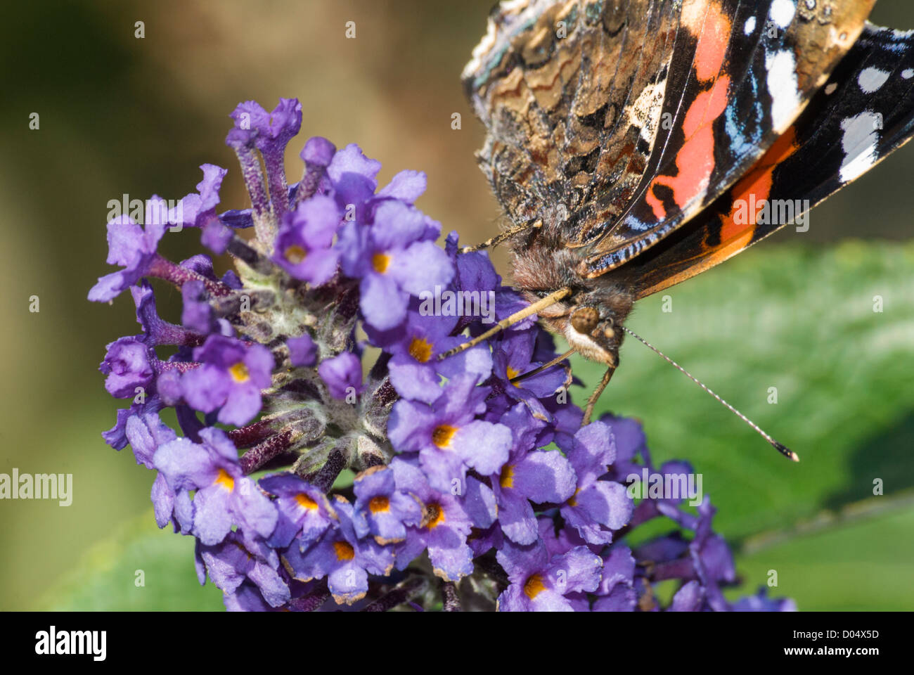 Close-up of Red Admiral Butterfly, Vanessa atalanta, feeding on Buddleia flowers in a South Yorkshire garden. - Stock Image