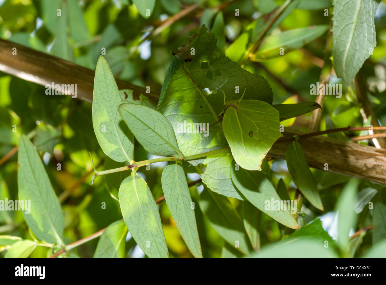 Brimstone Butterfly, Gonepteryx rhamni, resting amongst a tangle of Buddleia and Rose of Sharon leaves - nicely - Stock Image