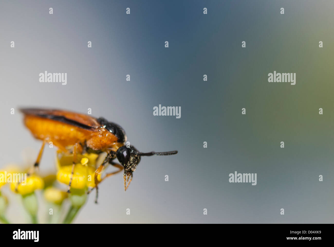 A Sawfly, Arge ochropus, perched on Fennel flowers in a South Yorkshire garden. Stock Photo