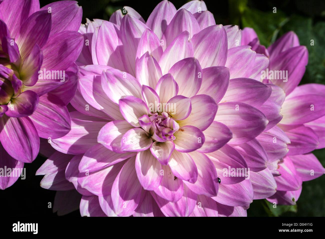 'Twilight time' Waterlily dahlia, Näckrosblommiga gruppen (Dahlia x Hortensis) - Stock Image