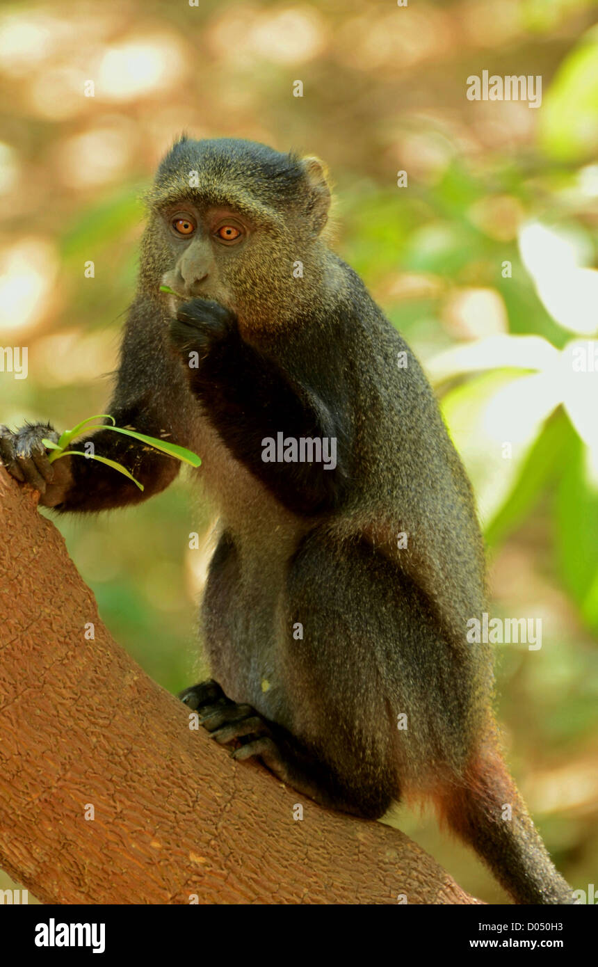 A blue monkey eating in a tree at Lake Manyara, Tanzania, Africa - Stock Image