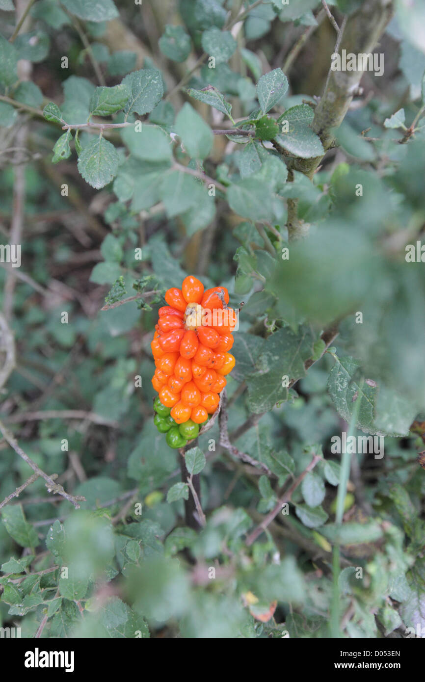 poisonous plant cuckoo pint (lords and ladies)  seen in hedgrow in late summer in hedgerow in jersey (Arum Maculatum) - Stock Image