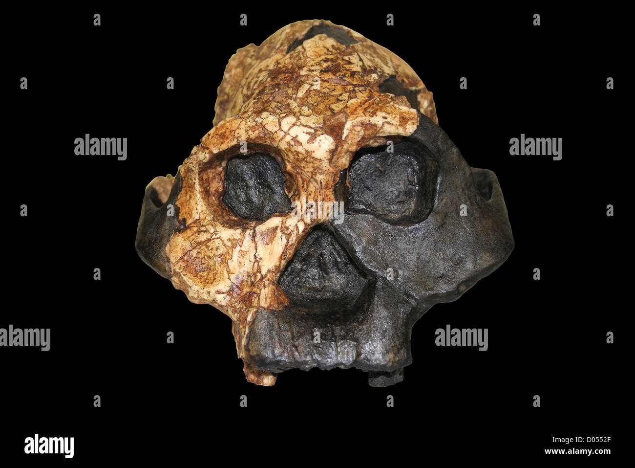 Australopithecus boisei, Female KNM ER 732 - Stock Image