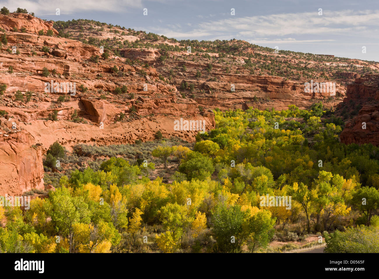 Unspoilt riparian vegetation in Long Canyon, near Boulder, in the Grand Staircase-Escalante National Monument, south - Stock Image