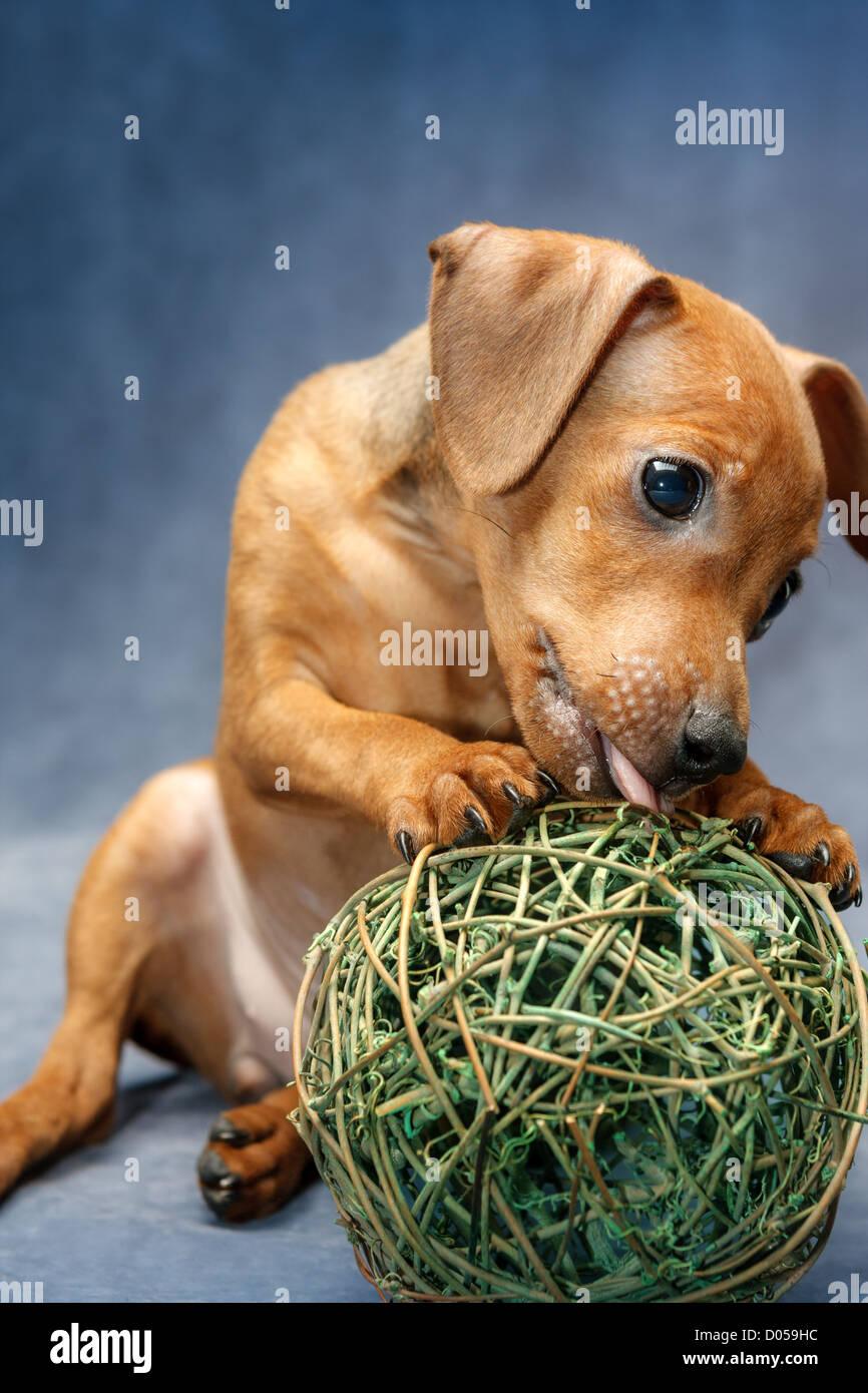 The Miniature Pinscher puppy, 2 months old - Stock Image