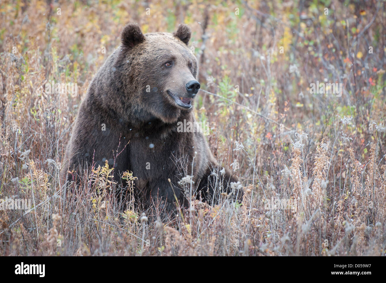 Grizzly foraging in the fall - Stock Image