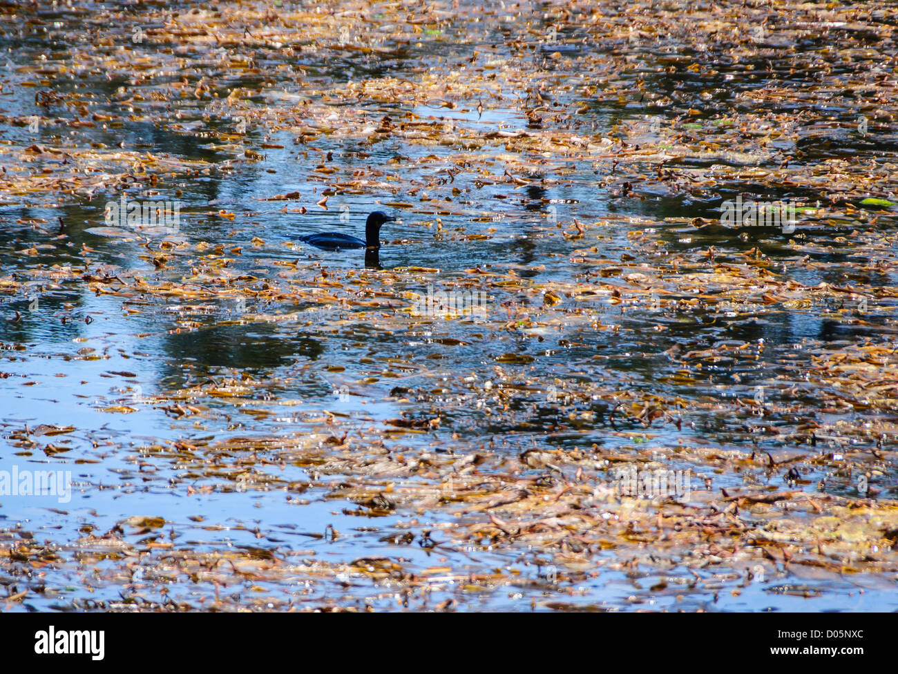 Point Lobos, California, nature reserve and scenic headland. Shag in seaweed. - Stock Image