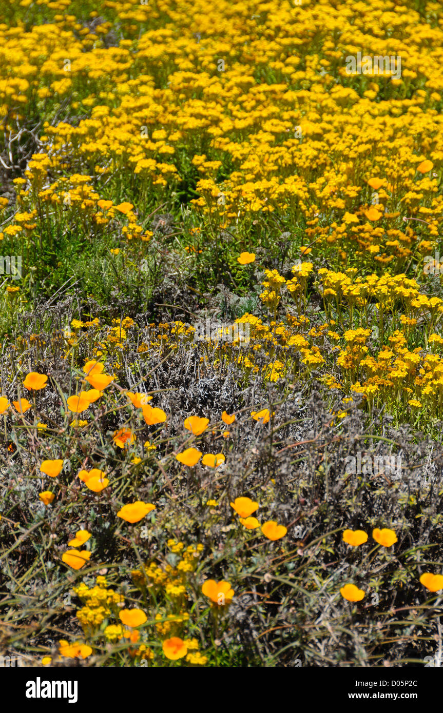 Point Lobos, California, nature reserve and scenic headland. Maritime wildflower population. - Stock Image
