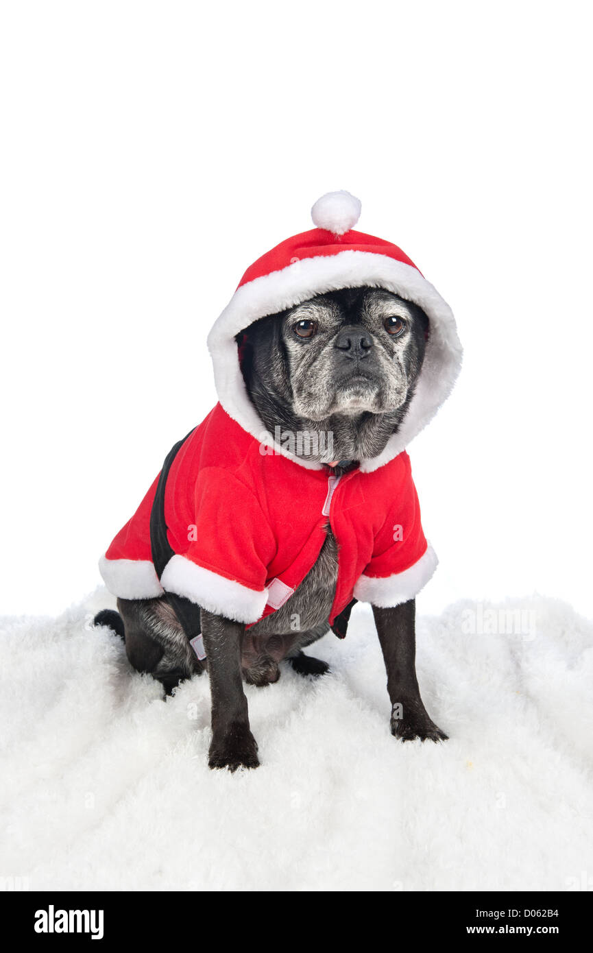 A festive holiday Christmas dog is dressed up in a Santa costume for the holidays.  sc 1 st  Alamy & A festive holiday Christmas dog is dressed up in a Santa costume for ...