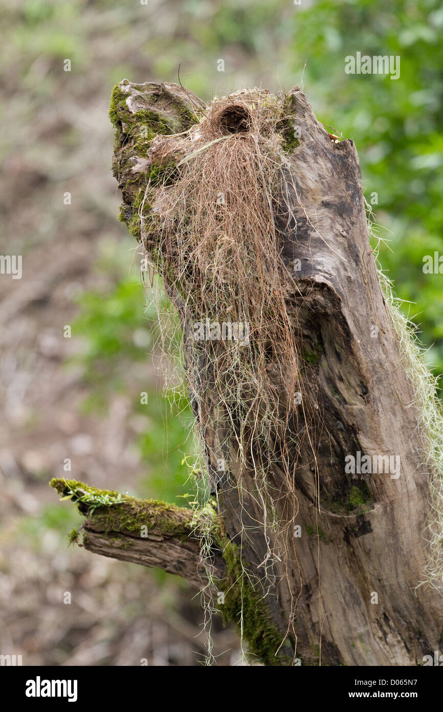 Great Kiskadee's nest in log beside Sarapiqui River, Heredia, Costa Rica. - Stock Image