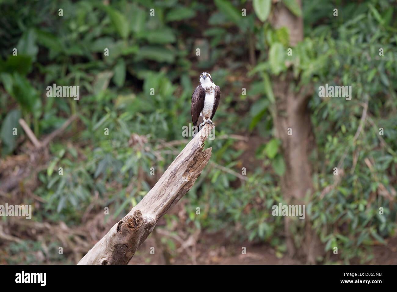 Osprey (Pandion haliaetus) perched on log beside Sarapiqui River, Heredia, Costa Rica. - Stock Image