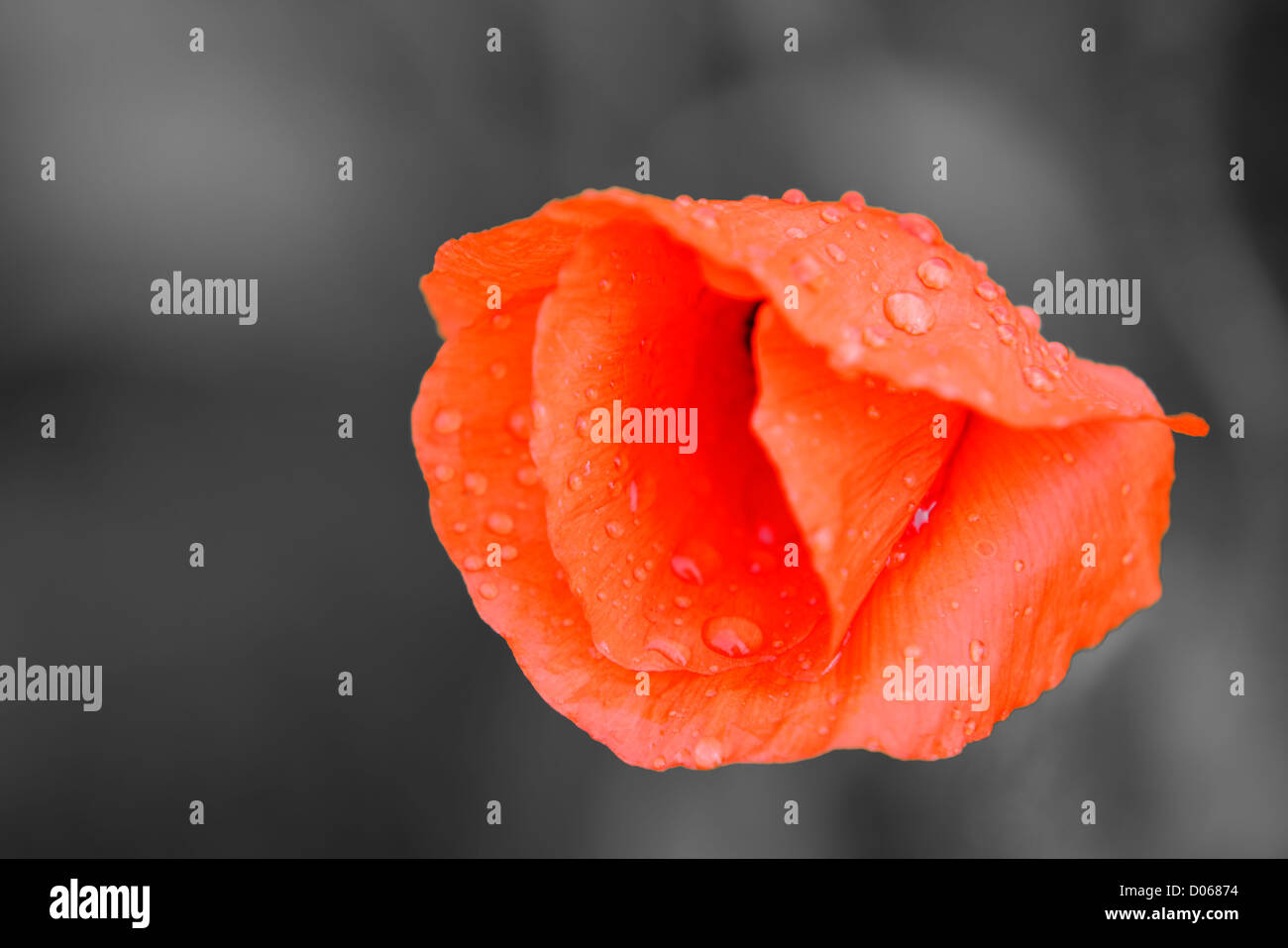 a red poppy on grey background - Stock Image