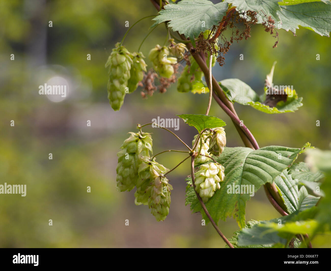 Close up of flowering hops with cones - Stock Image
