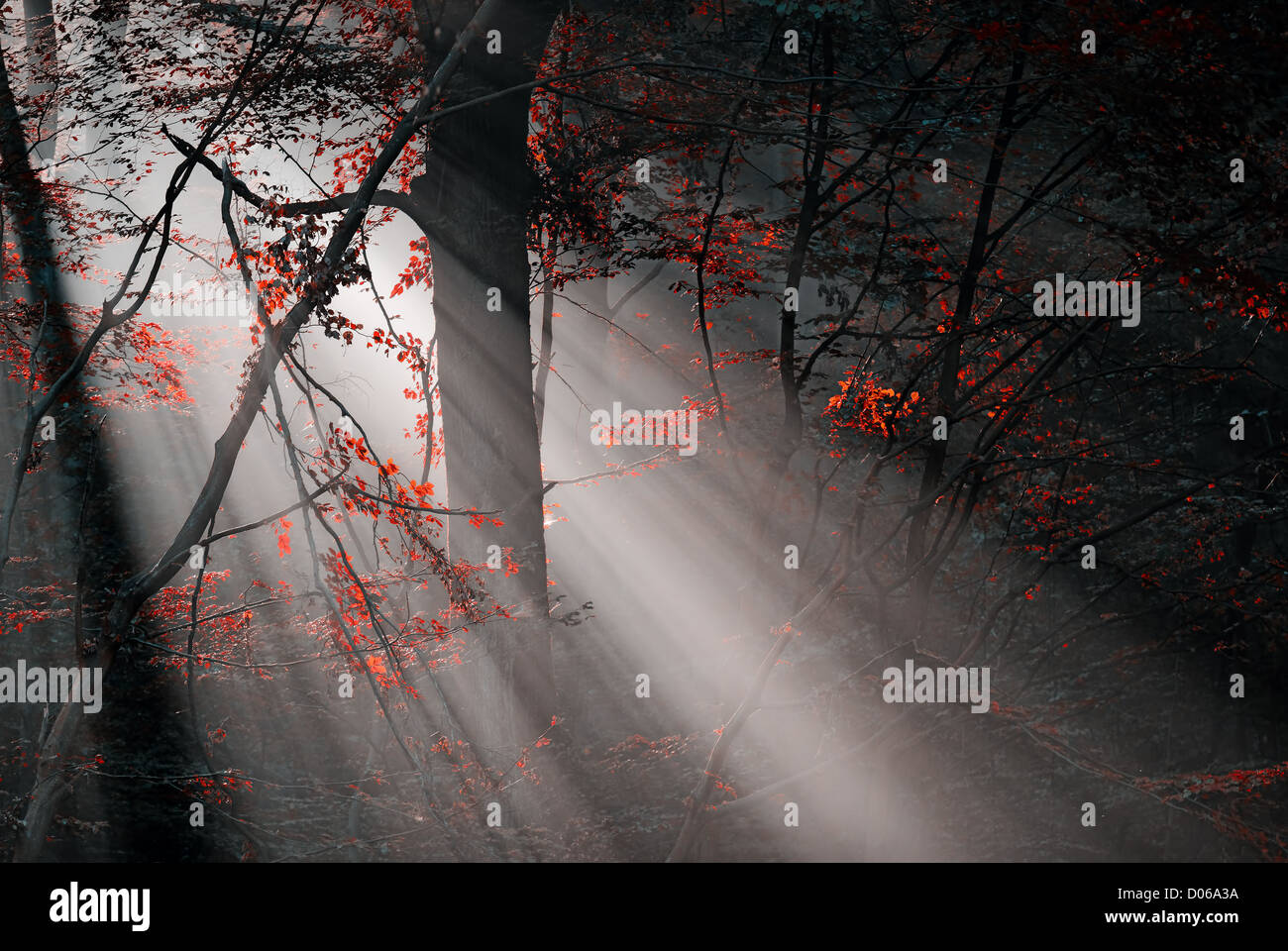 red colors and subeams in the forest - Stock Image