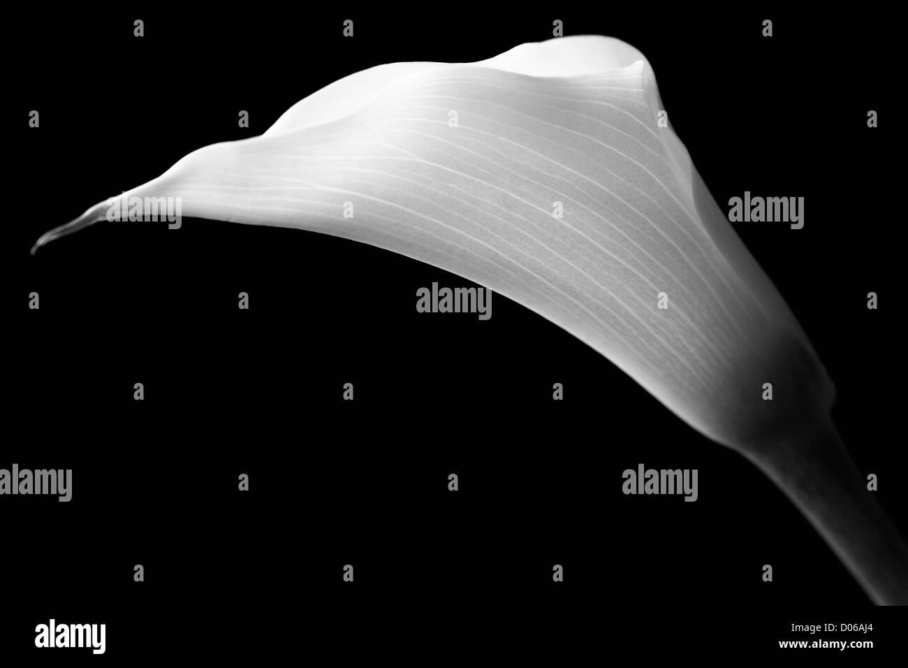 White calla with elegant curves isolated on black - Stock Image