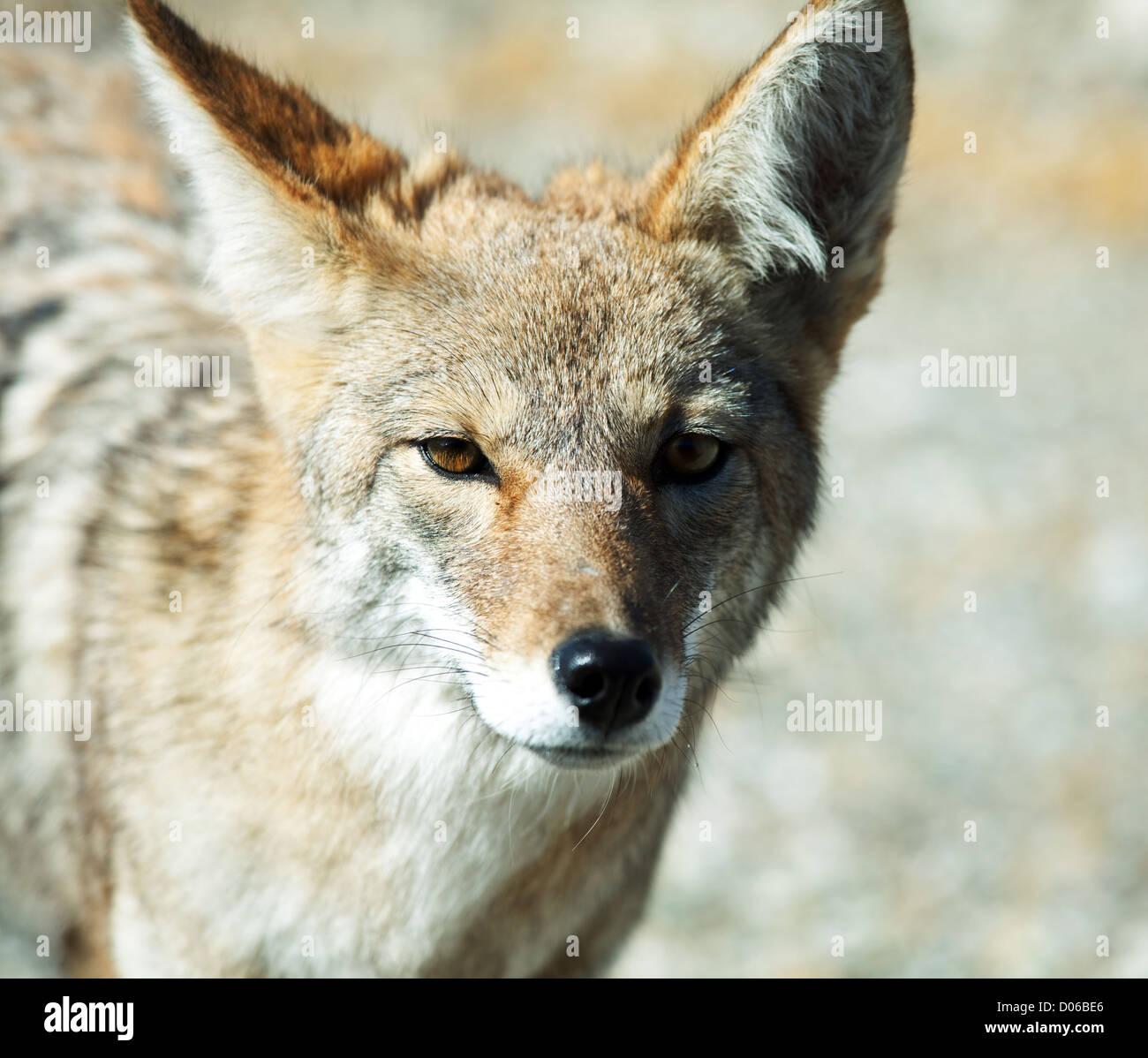 coyote closeup - Stock Image