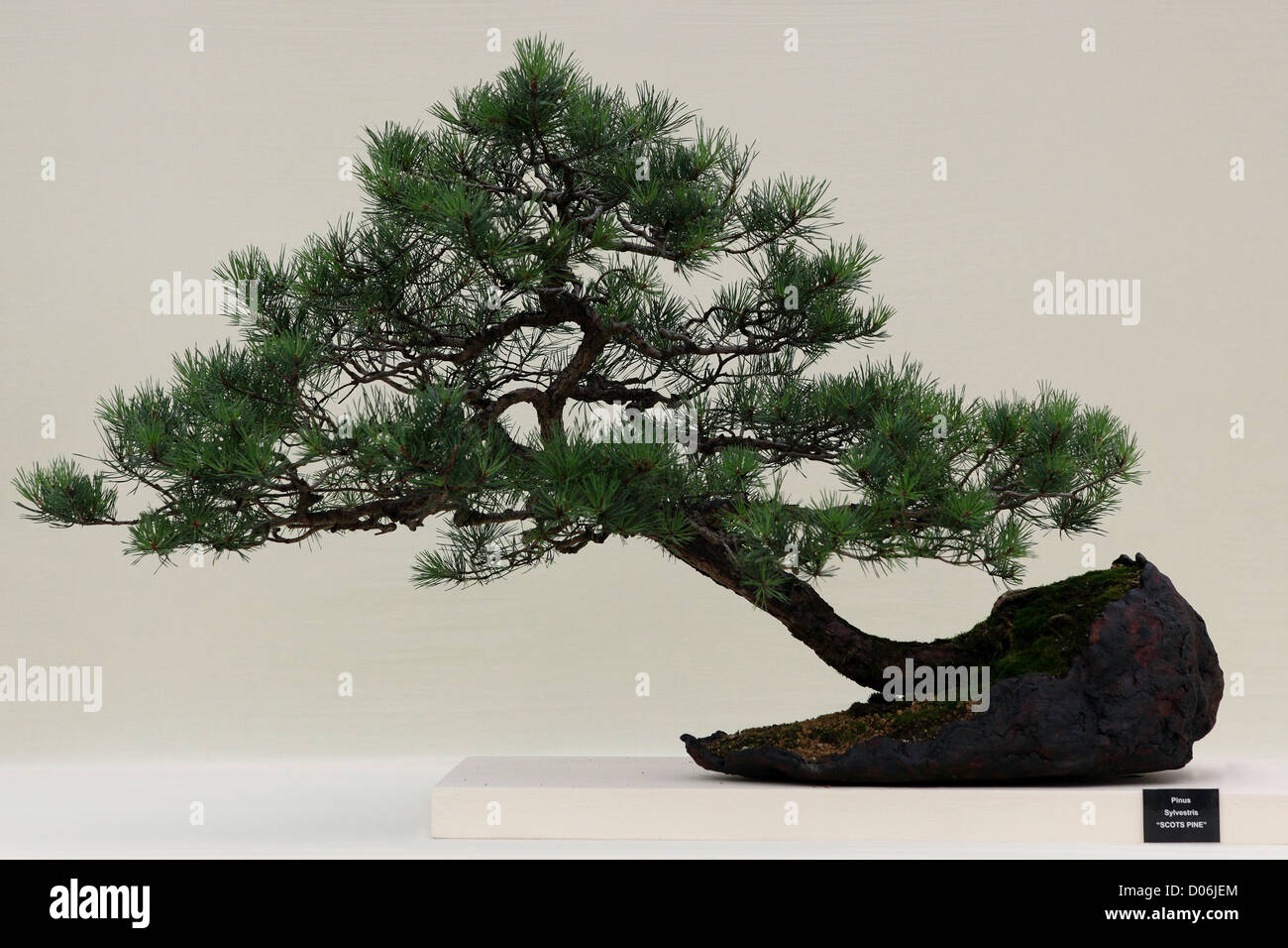 Scots Pine Bonsai High Resolution Stock Photography And Images Alamy